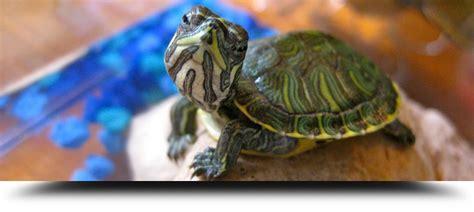 tartarughe alimentazione rettili