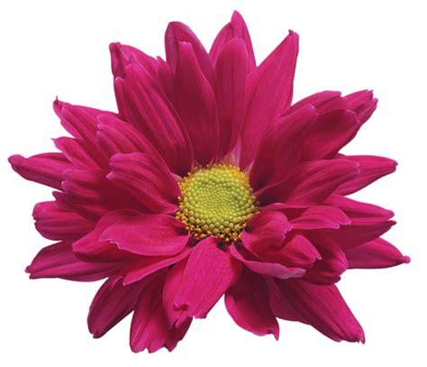 mum flower arrangement pink jpeg pink chrysanthemum flower transparent clip image gallery yopriceville high quality