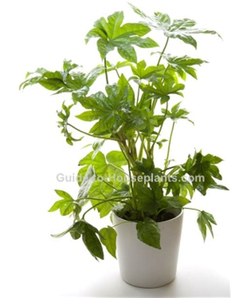 japanese house plants japanese aralia fatsia japonica pictures care tips