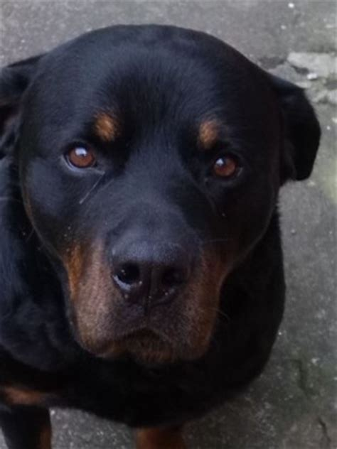 rottweiler needs max the rottweiler needs a new home dawg