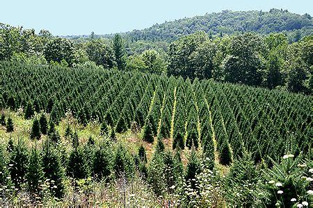 christmas tree hill nursery 1881 millers gap highway