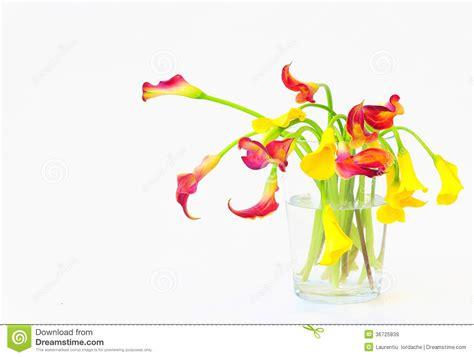 calle in vaso calle in vaso immagini stock libere da diritti immagine