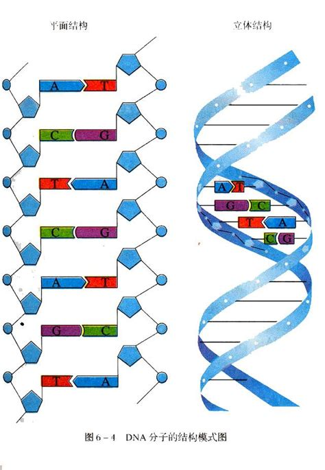 section 10 2 review dna structure hot pics celebrity