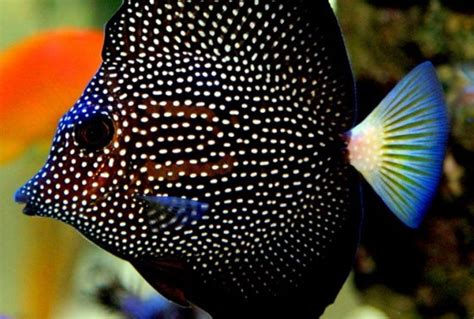Tangs Gift Card - gem tang fishy bizness aquatics