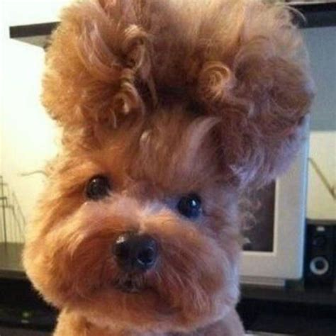 haircut gone wrong funny 10 best dog haircuts gone bad images on pinterest dog