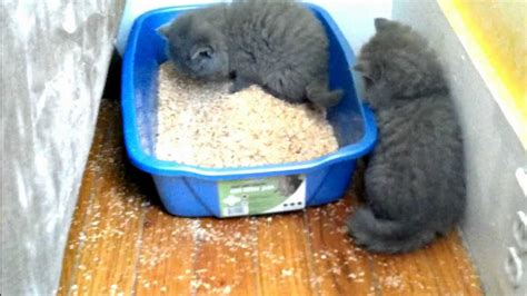 how to a to use a litter box kitten learning to use the litter box