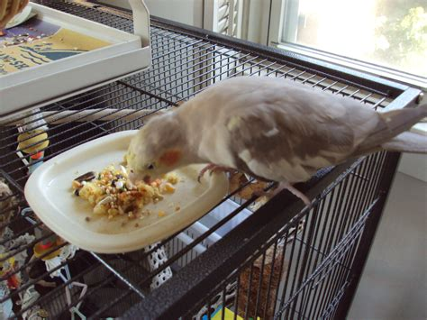 cockatiel nutrition bonded with tiels