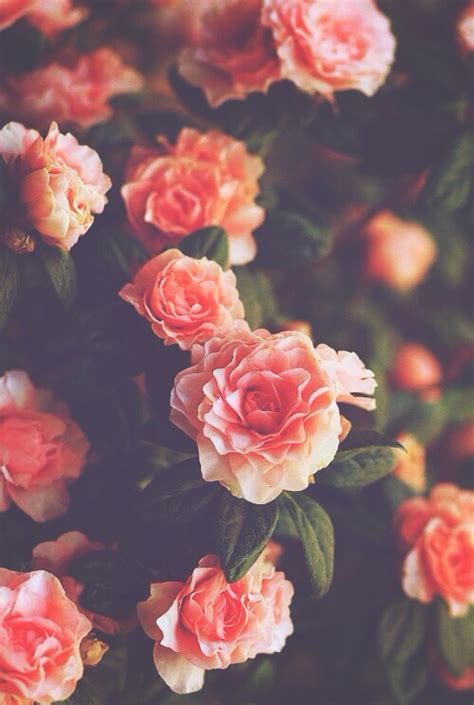 wallpaper tumblr vintage for iphone background flowers hipster india iphone nature roses