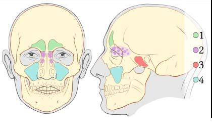 diagram of the sinuses the paranasal sinuses structure function teachmeanatomy