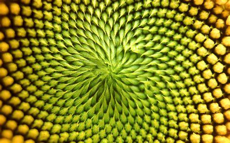 patterns in nature explained цветок подсолнух обои для рабочего стола высокого