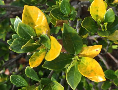 Gardenia Yellow Leaves Epsom Salt Why Has My Plant Got Yellow Leaves Gardendrum