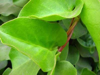 nama latin tanaman binahong obat sakit