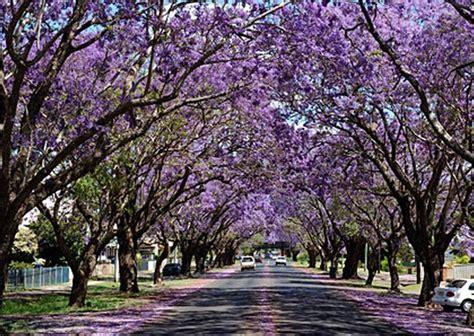 jacaranda street sydney australia jacaranda trees