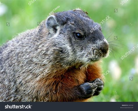 groundhog day italiano groundhog day stock photo 363532
