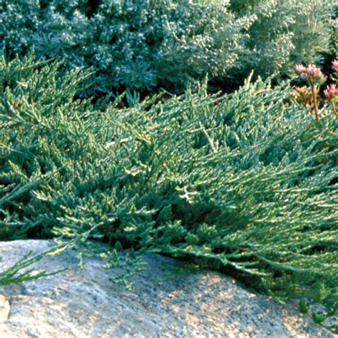 blue rug juniper spacing buy trees and shrubs for less