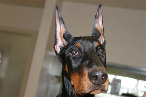 ear cropping near me we specialize in doberman ear cropping and posting yelp