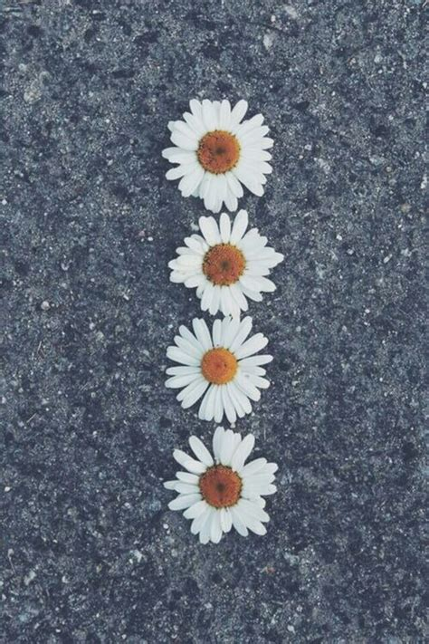 daisy wallpaper pinterest daisy flowers iphone wallpaper tumblr
