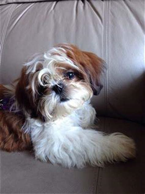 how many times does a shih tzu puppy eat solid brown and solid black shih tzu dogs