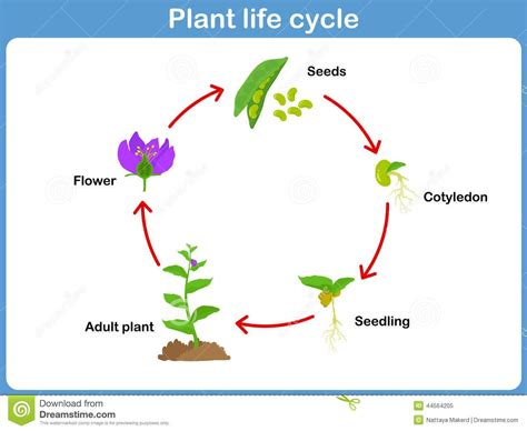 the cycle of a plant worksheet flower cycle for plant cycle diagram for