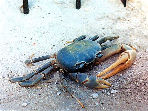 27 best images about blue crabs on pinterest crabs dark blue crab pictures to pin on pinterest pinsdaddy