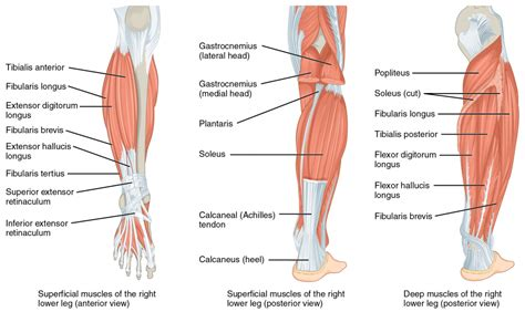 diagram of muscles and tendons human leg muscles and tendons