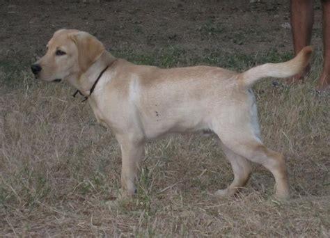 golden retriever puppies cost in delhi labrador retriever delhi anuragrana9999040481 quotes