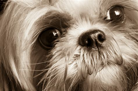 maltese shih tzu eye problems maltese shih tzu cross pug breeds picture