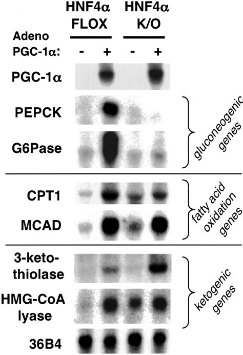 Regulation of hepatic fasting response by PPARγ