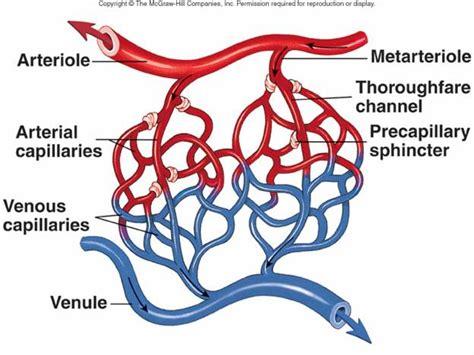 capillary beds blood vessels