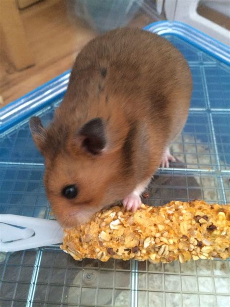 brown syrian hamster london south west london petshomes