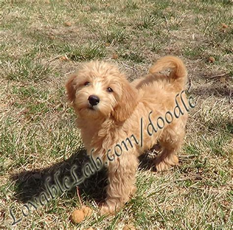 Puppies For Sale Labradoodle Mini Labradoodles F