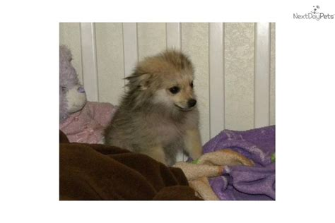 teacup wolf pomeranian pomeranian puppy for sale near las vegas nevada d702460f 9d71