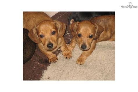 puppies for sale in south jersey dachshund mini for sale for 500 near south jersey new jersey f3d44ea5 04f1