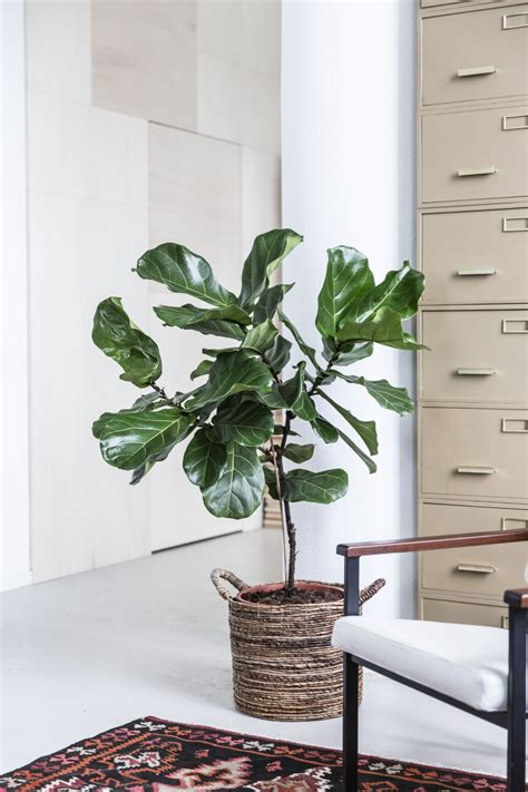 ficus lyrata  joy  plants