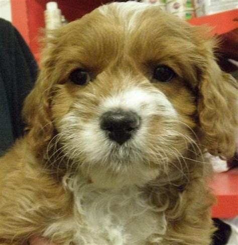 havanese puppies adelaide poodle puppies for sale puppies for sale melbourne breeds picture