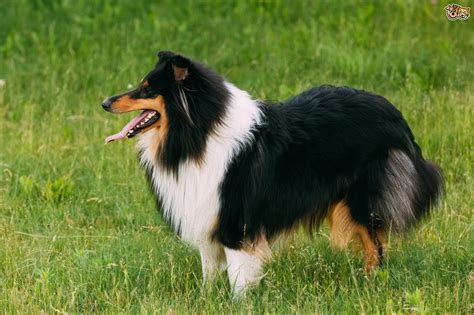 sheep dogs shetland sheepdog breed information buying advice photos and facts pets4homes