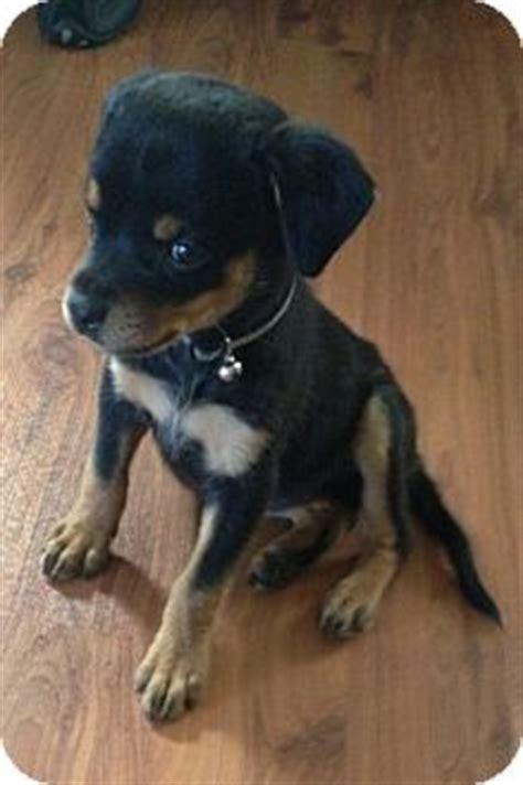 dachshund rottweiler mix baby adopted puppy whittier ca dachshund rottweiler mix