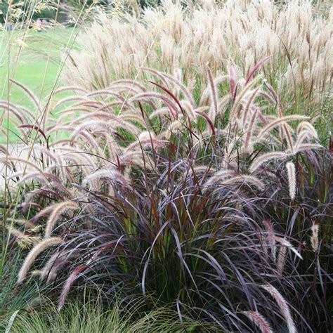 buy fountain grass syn setaceum rubrum pennisetum