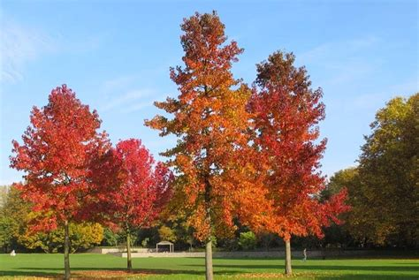 american maple tree uk how to grow liquidambar styraciflua the garden of eaden