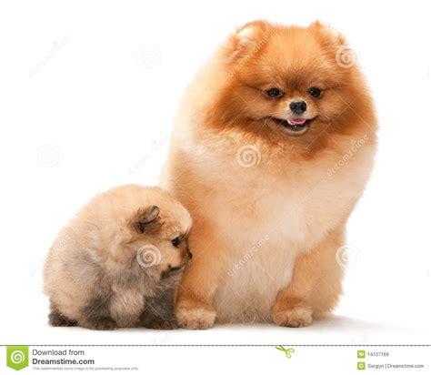 spitz and pomeranian pomeranian spitz and his puppy royalty free stock image image 14107166