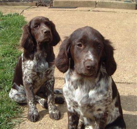small munsterlander puppies munsterlander dogs at pictures co uk