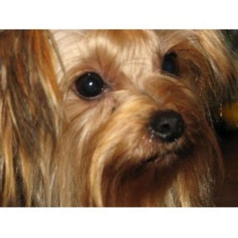 free yorkie puppies in tn terrier yorkie breeders in tennessee freedoglistings