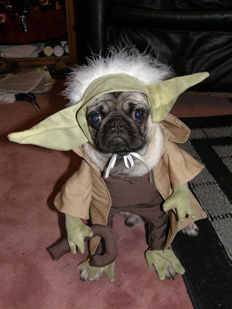 pug dressed up as yoda a is not just for your handbag mackie opinion the guardian