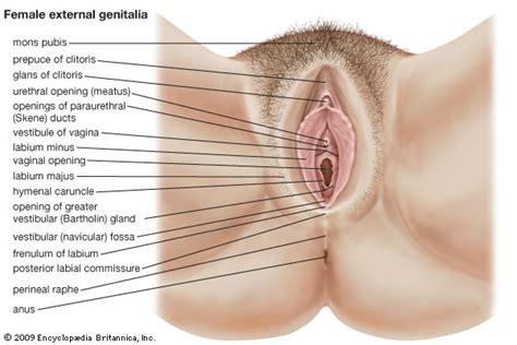pics of wimins vigina vagina anatomy encyclopedia britannica