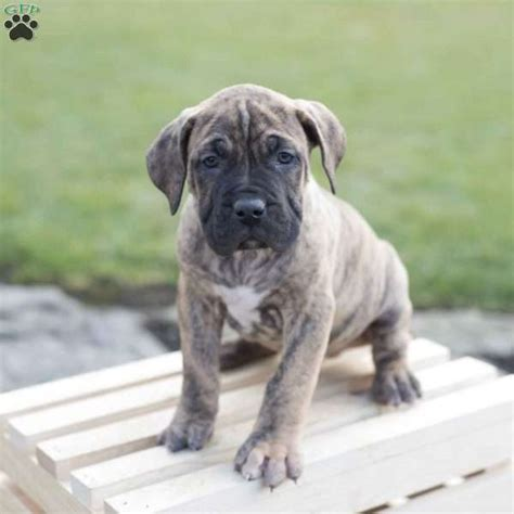 presa canario puppies for sale in pa marly presa canario puppy for sale in ohio