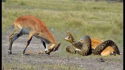 Deer Vs python vs deer deer fight python to rescue baby escape
