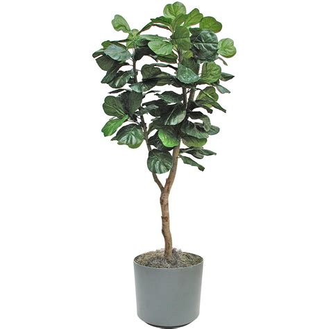 fiddle leaf fig fiddle leaf fig