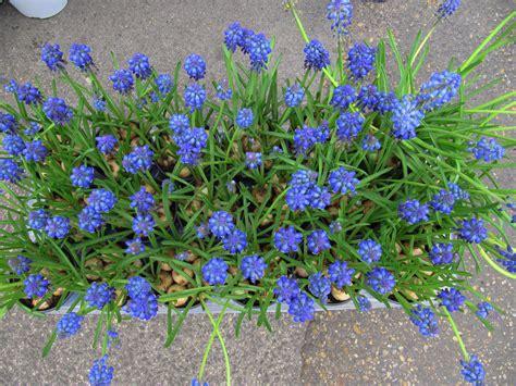 fiori primaverili da giardino fiori primaverili garden it