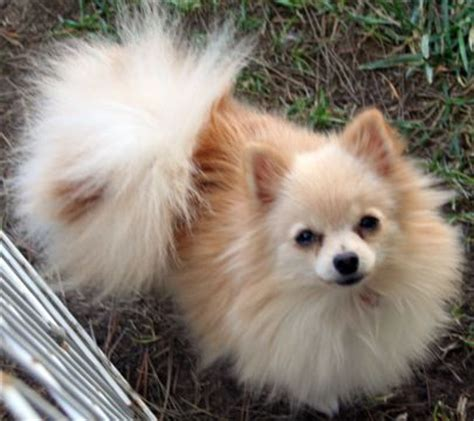 pomeranian grown grown teacup pomeranians