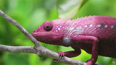 color changing lizard chameleons are capable of glowing uv light